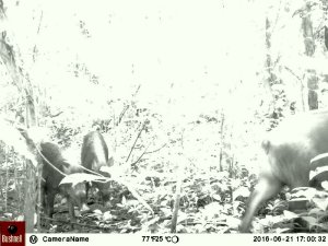 This photo was captured with a camera trap placed in the Eco Camp. It's a family of pigs!