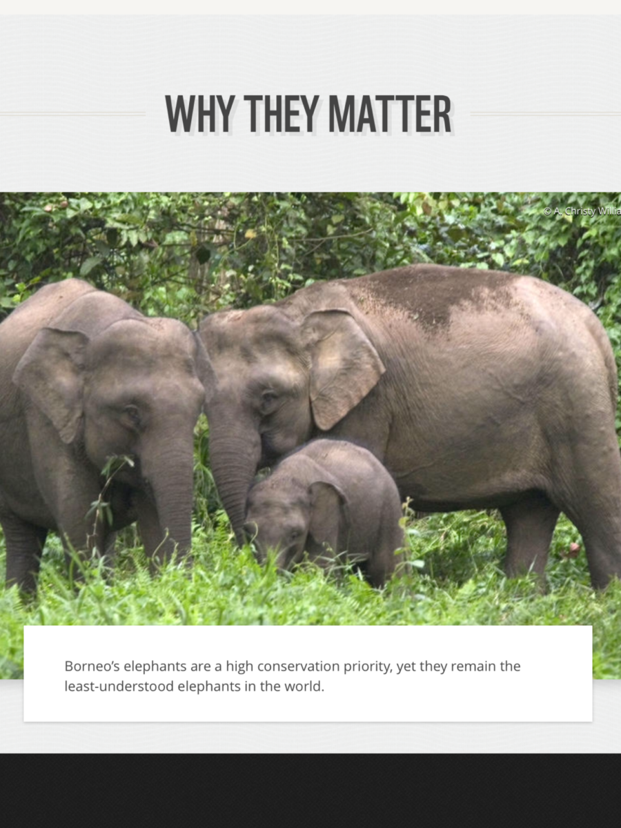 Uncategorized Elephant Information gretchen coffman the quest for pygmy elephant conservation information about these elephants by wwf