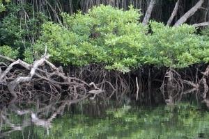 Mangrove Root system (PC: Sarah Carter)