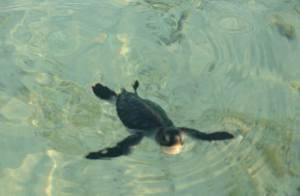 turtle swimming crop