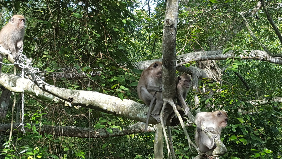 A group of long-tailed macaques playing in the trees near the canopy walk. Sometimes it felt like they were watching me as much as I was watching them.